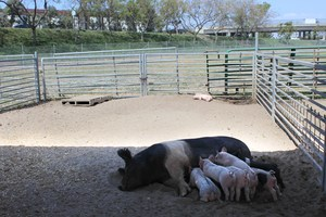 A pig nurses her babies on the Westminster High farm.