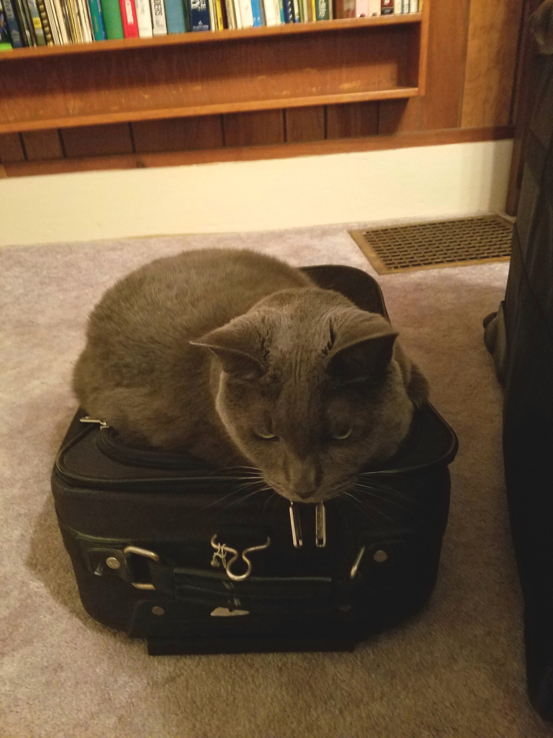Grumpy-looking fat gray cat curled up on a black carry-on rolling suitcase
