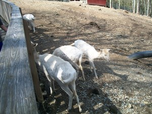 Animals at the petting zoo at Tweetsie Letterland.