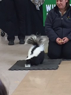 Skunk from Wildlife Experience