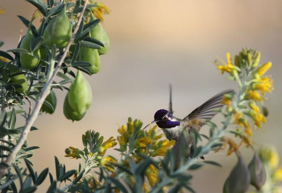 Hummingbird with purple throat in flowers