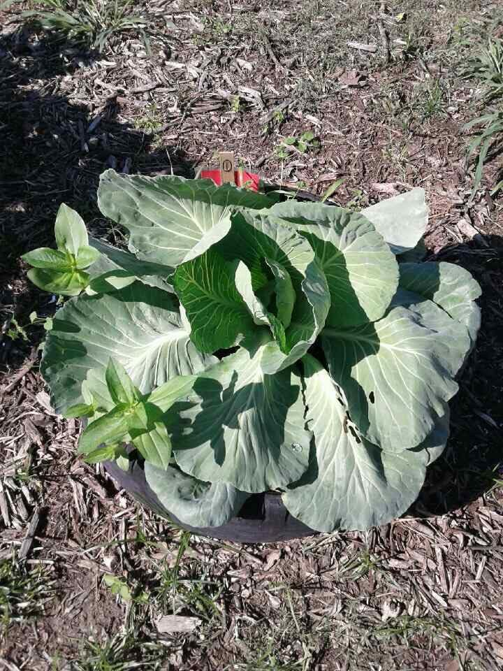 Bonnie Cabbage plants
