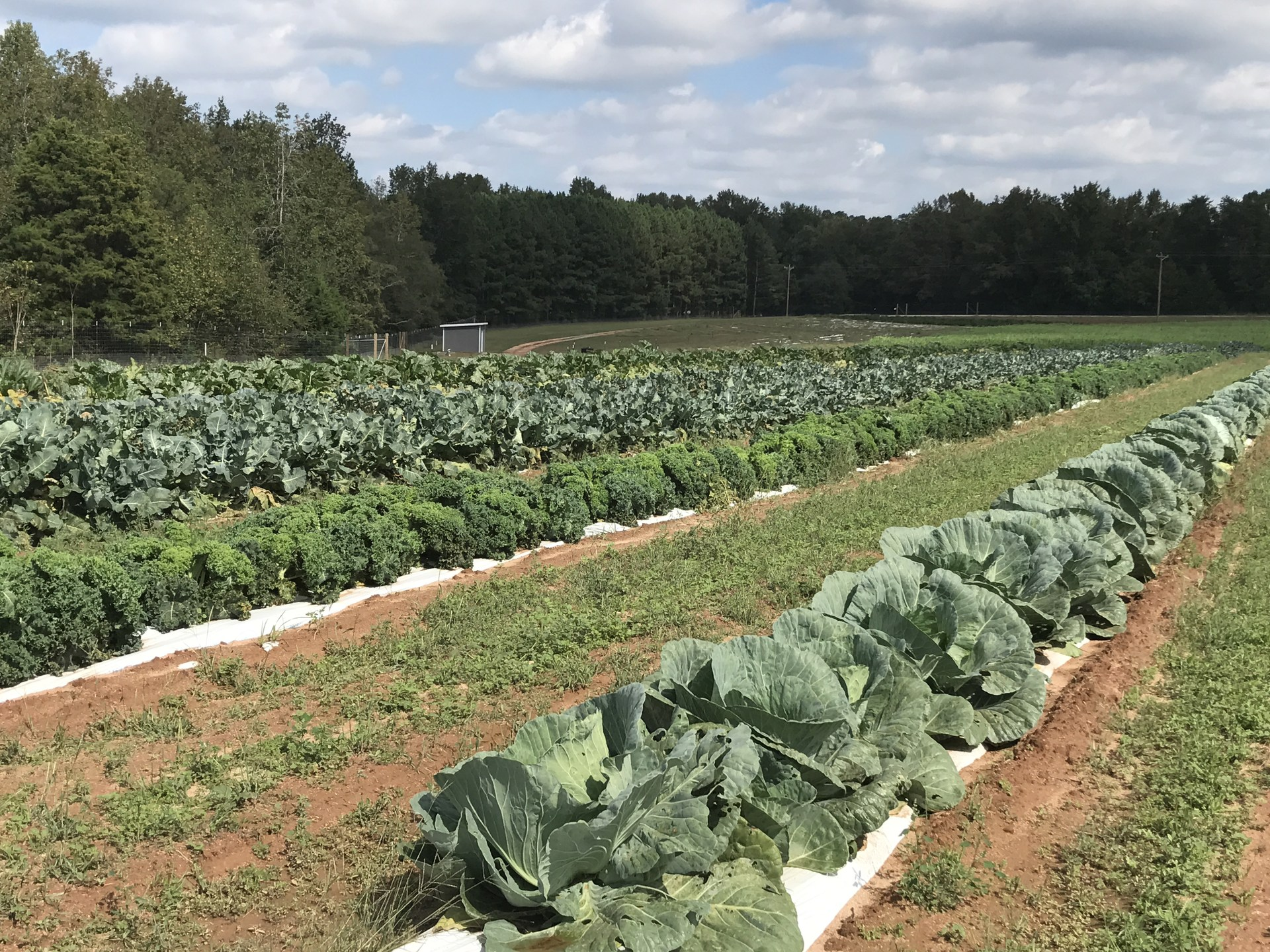 Pictures of cabbage on the farm - a wide shot. Shows lots of cabbage.