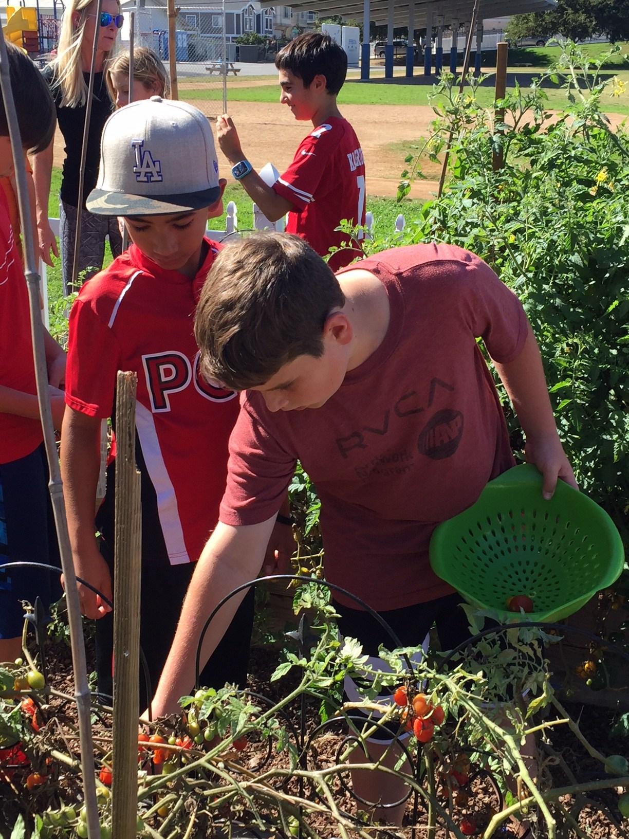 Two boy students picking tomatos in school garden.