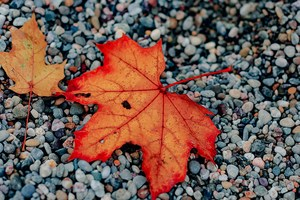 Fall leaf on pebbles.