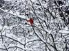 Cardinal in snow