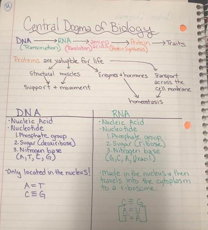 unit 8 molecular genetics cameo basaldua victoria west high school. Black Bedroom Furniture Sets. Home Design Ideas