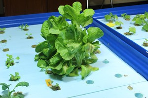 A full grown lettuce plant in the lab