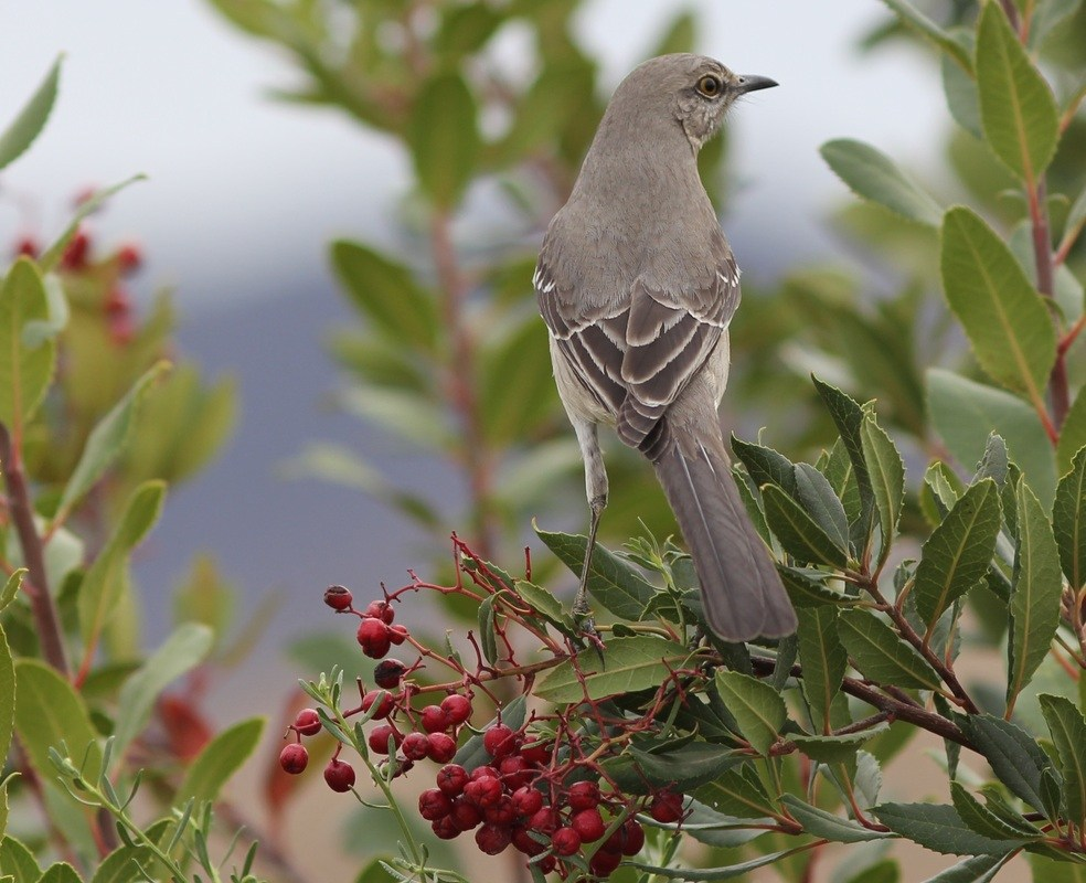 Mockingbird in a berry bush