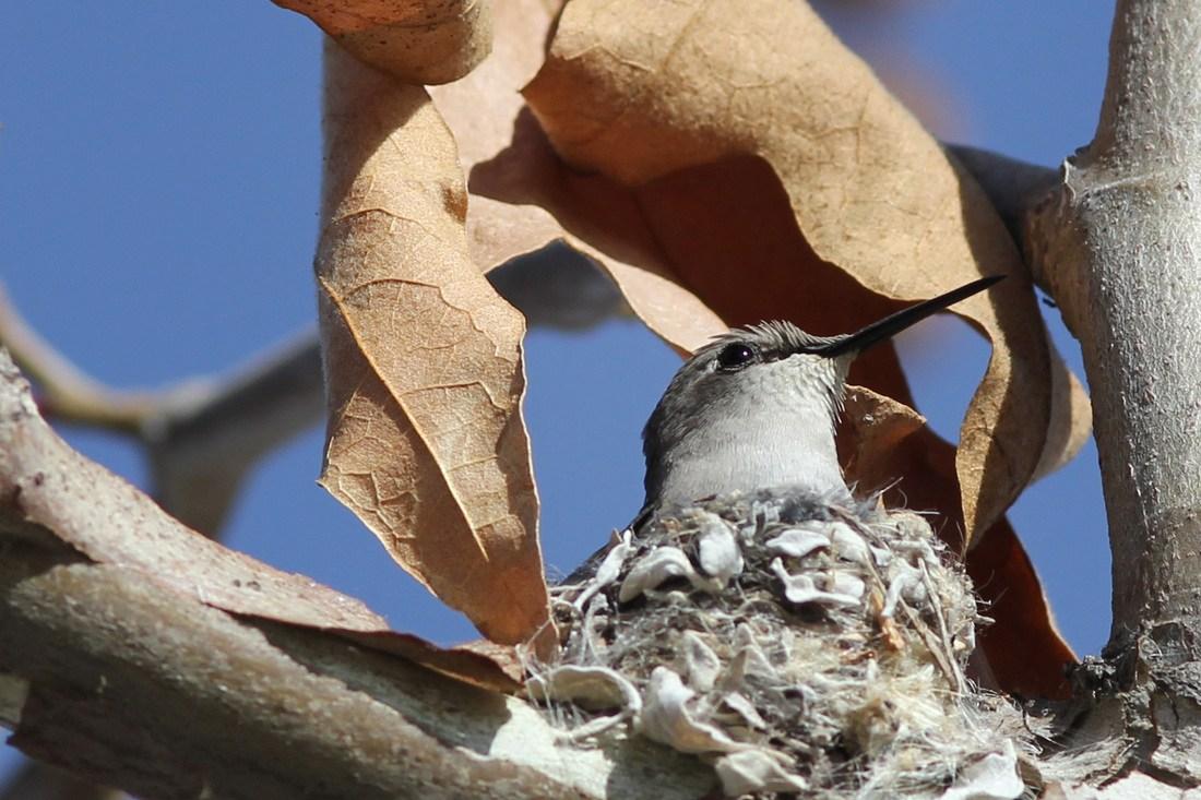 Mother hummingbird in a nest