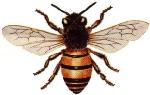 Honey_Bee.jpg